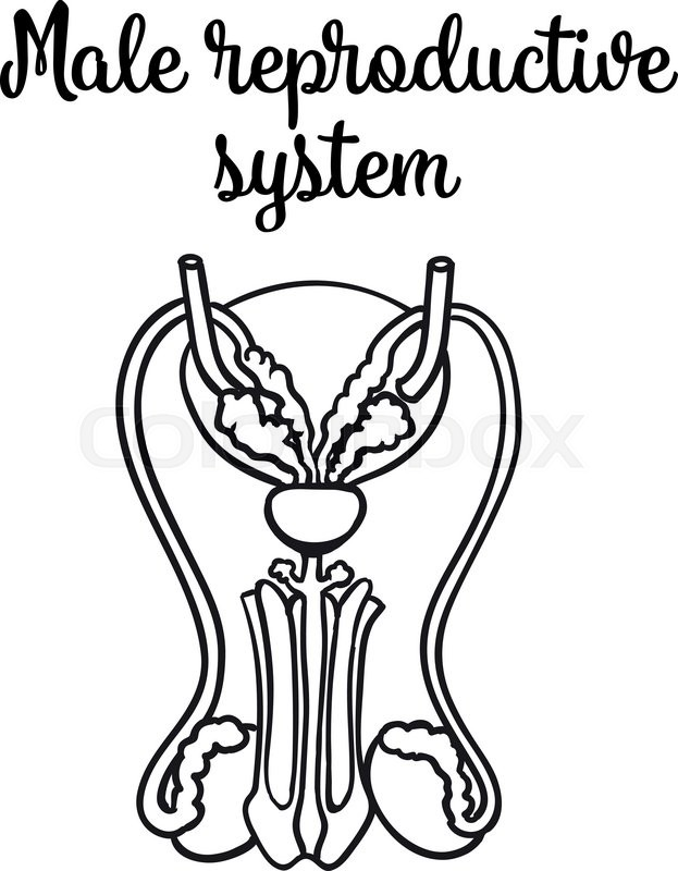 Male Reproductive System Vector Sketch Hand Drawn Illustration