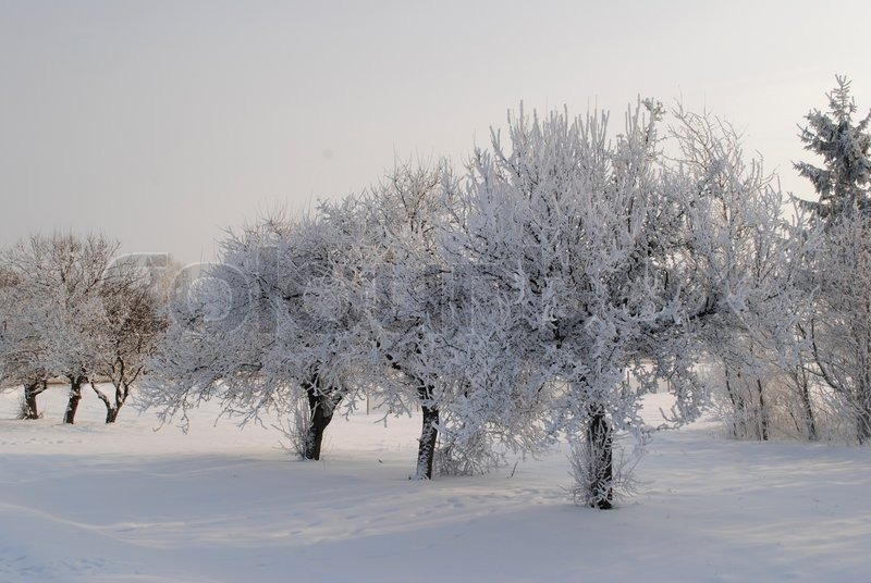 apple orchard was shot in the winter of belarus stock photo