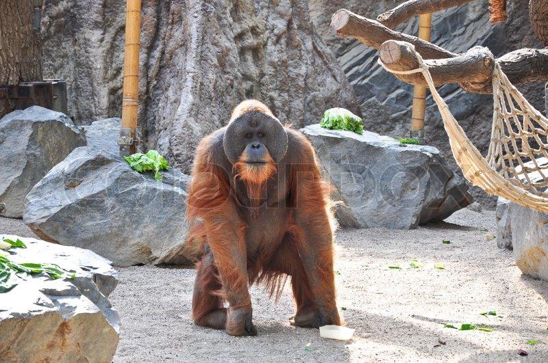 entspannte orang utan auf sand sitzen zoo in hamburg deutschland stockfoto colourbox. Black Bedroom Furniture Sets. Home Design Ideas