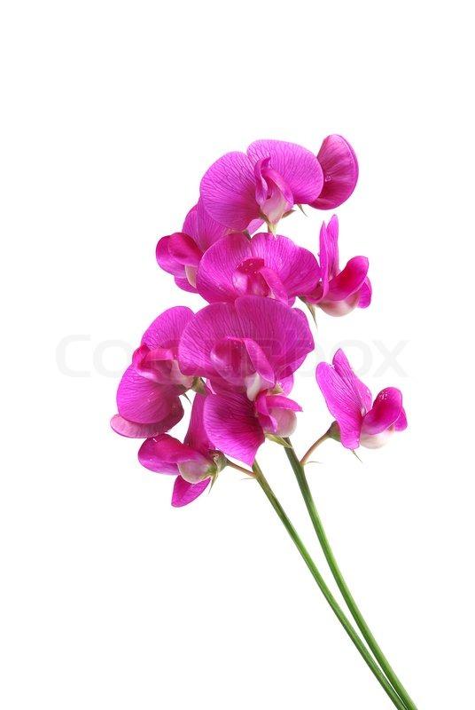 Sweetpea flowers isolated on white stock photo colourbox mightylinksfo