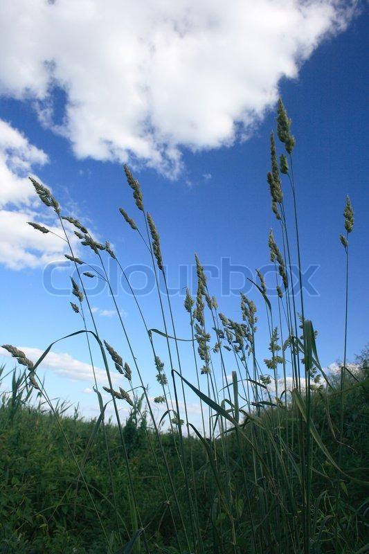 hohes gras gegen den blauen himmel stockfoto colourbox. Black Bedroom Furniture Sets. Home Design Ideas