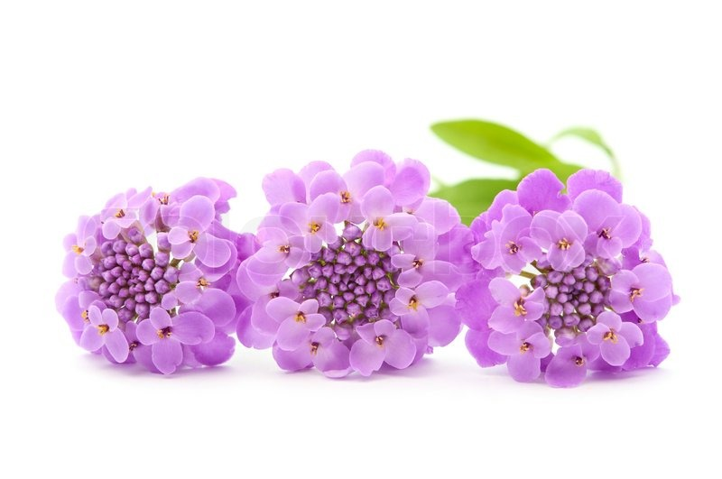 Purple flowers on a white background stock photo colourbox mightylinksfo
