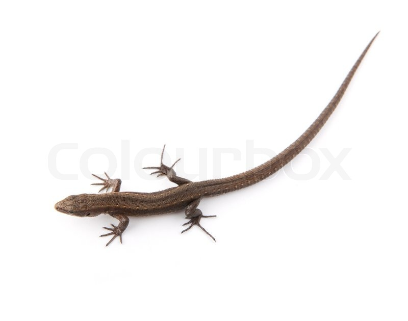 how to get rid of small lizards in the house