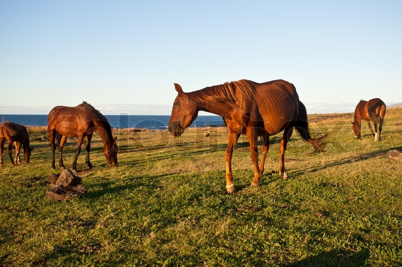 Free running horses of the Easter Island | Stock Photo ...