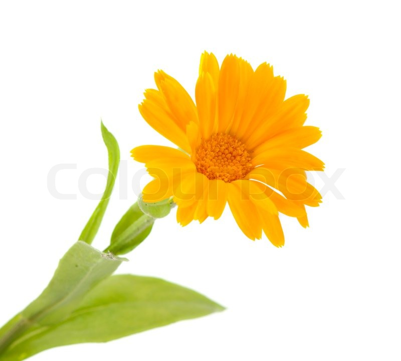 Marigold Flower On A White Background Stock Photo Colourbox