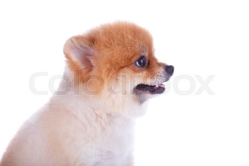 Pomeranian Dog Brown Short Hair On Stock Image Colourbox