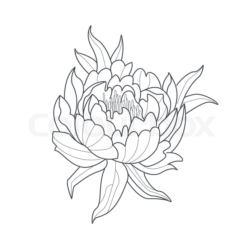 Peony Flower Monochrome Drawing For Coloring Book Hand Drawn Vector Simple Style Illustration