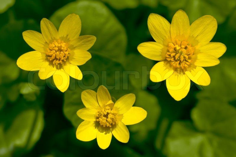 Beautiful Yellow Spring Flowers Growing Stock Photo Colourbox