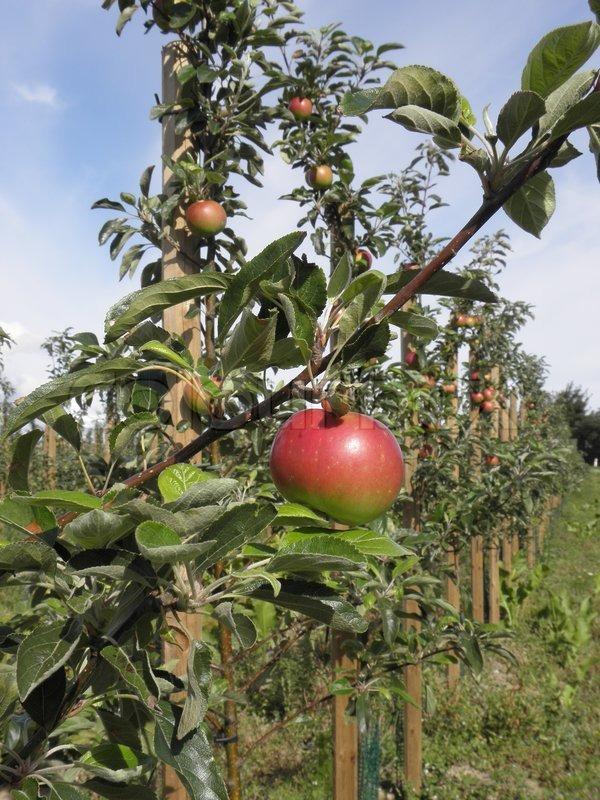 frugttræer danmark