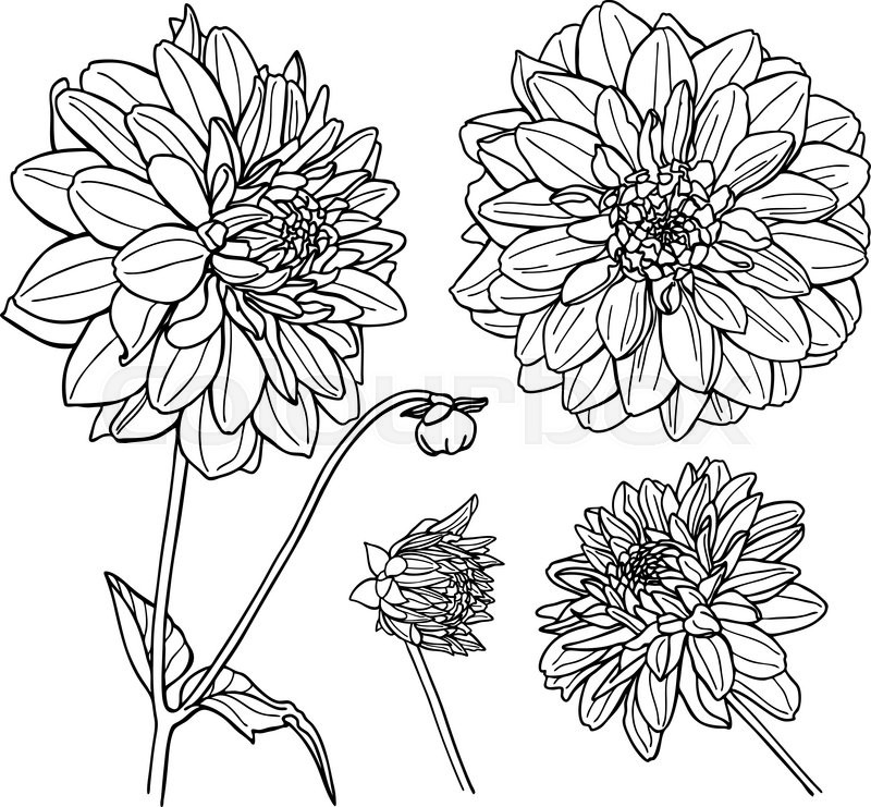Red Flower Line Drawing : Vector dahlia flower set line art illustration stock