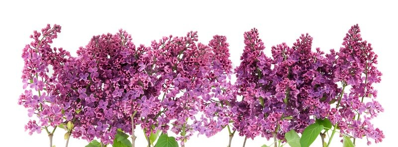 Image result for lilac flower  border
