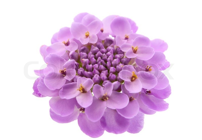 Purple flowers on a white background stock photo colourbox purple flowers on a white background stock photo mightylinksfo Choice Image