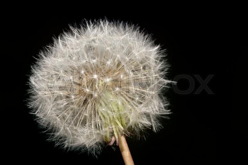 Dandelion Plant Blowball. Dandelion Blow ball. Fragility Concept. Flock. Dandelion Pollination, stock photo