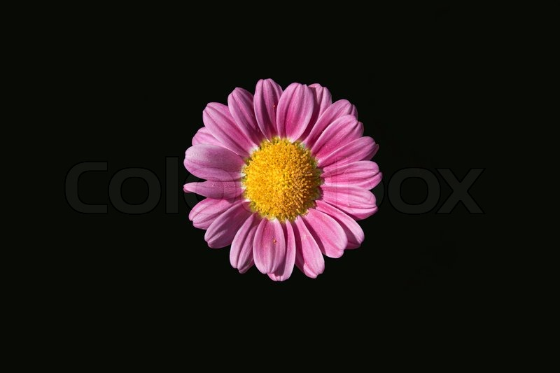 Pink Flower isolated on Black background | Stock Photo ...