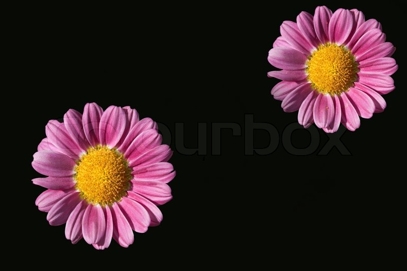 2 pink flowers on black background stock photo colourbox mightylinksfo