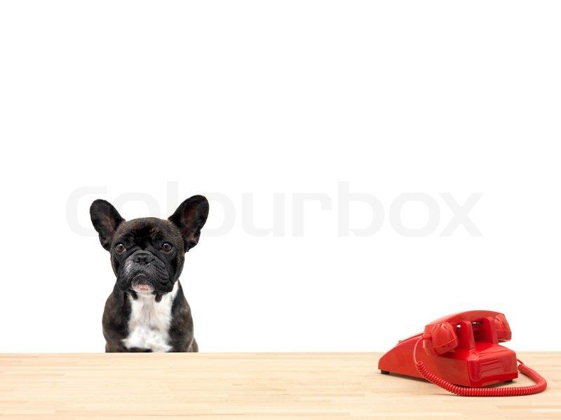 ein franz sisch bulldogge in einem b ro situation stock foto. Black Bedroom Furniture Sets. Home Design Ideas