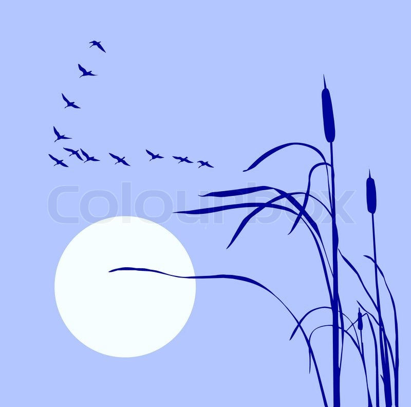 Stock image of 'Drawing flock geese on bulrush'