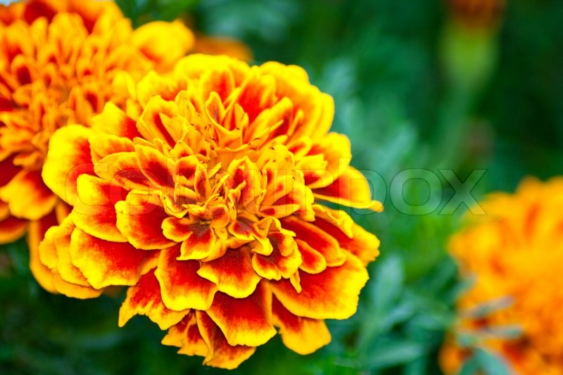 orange blumen tagetes gegen gr ne bl tter stockfoto colourbox. Black Bedroom Furniture Sets. Home Design Ideas