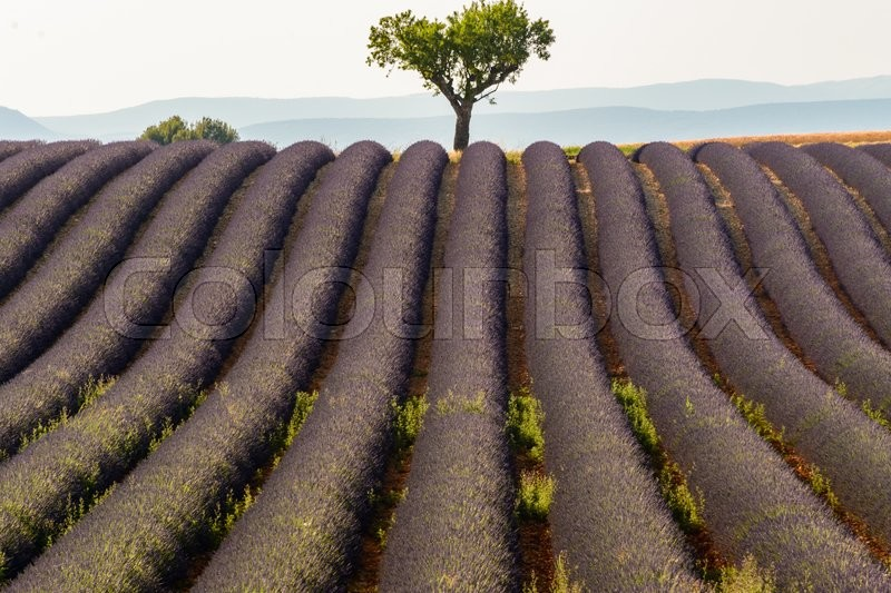 A tree in the middle of a lavenders field nera the town of Valensole in Provence, France, stock photo