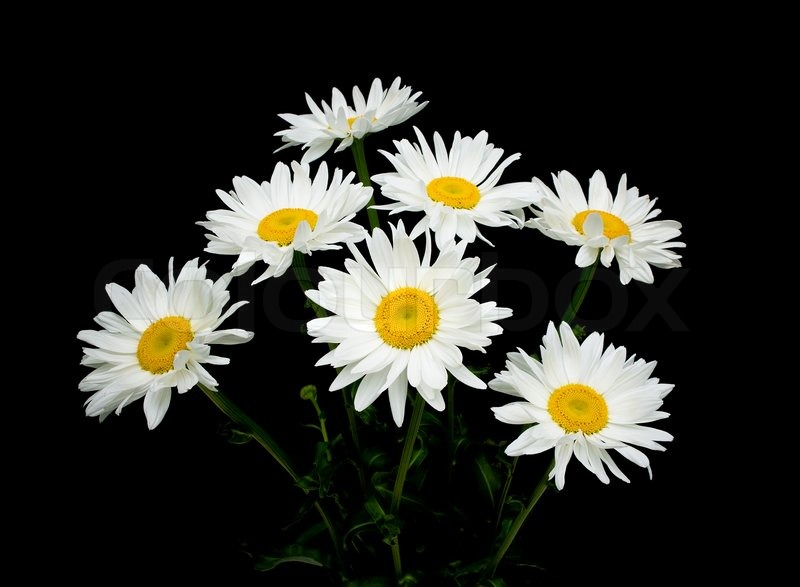 Blooming chamomile on black background close-up | Stock ...