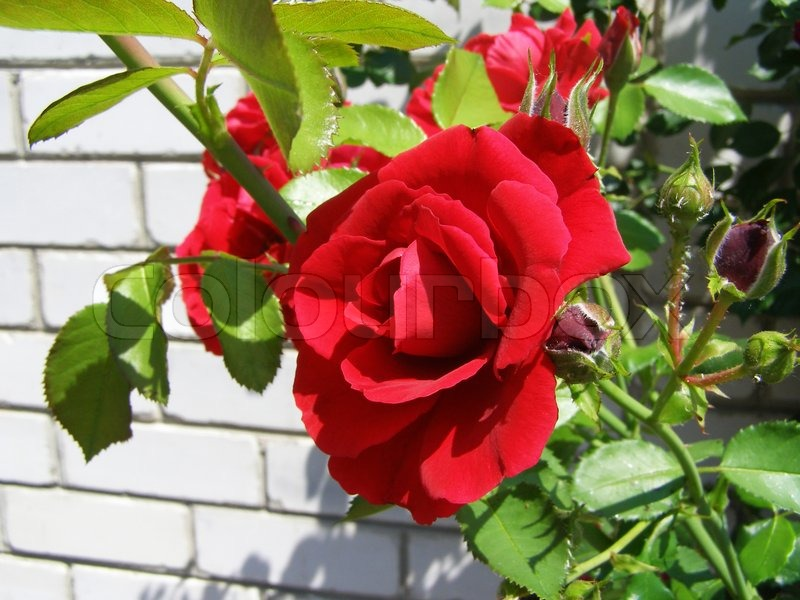 busch mit roten rosen in der n he einer mauer stockfoto colourbox. Black Bedroom Furniture Sets. Home Design Ideas