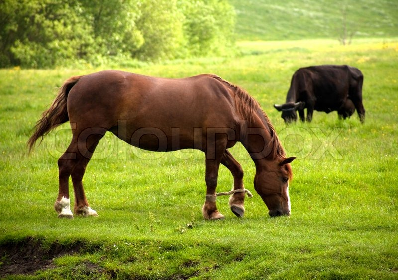 Horse And Cow Graze On The Meadow Stock Image Colourbox