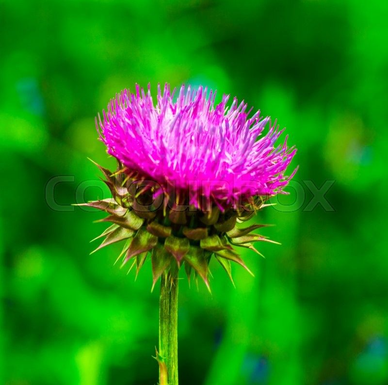 Thistle. pink milk thistle flower in bloom in spring. Single Thistle Flower in Bloom in the field. Pink thistle flower, stock photo