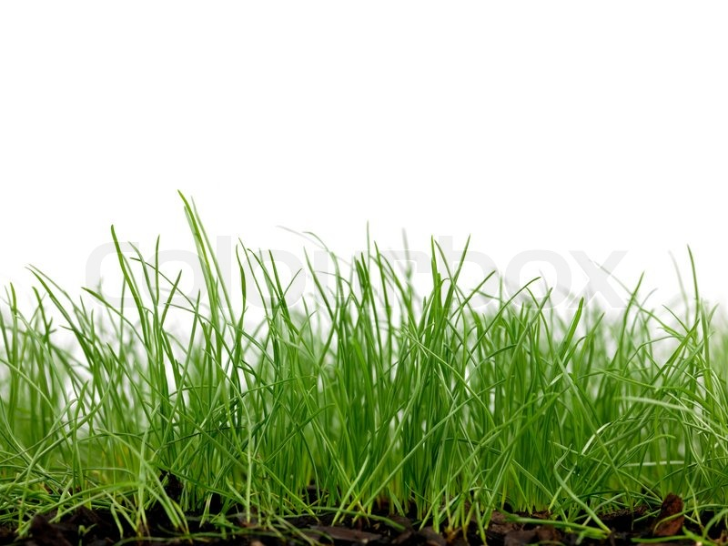 Green grass siolated against a white background stock for Tall border grass