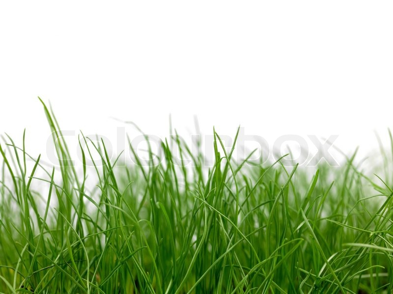 green grass siolated against a white background