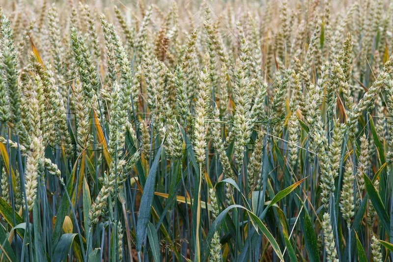 Wheat field. Ears of wheat close up. Background of ripening ears of meadow wheat field. Rich harvest concept, stock photo