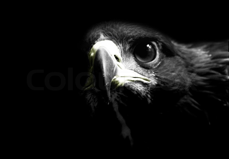 Golden eagle black and white stock photo colourbox