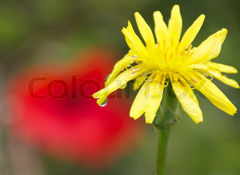 Stock foto af 'Tragopogon porrifolius yellow flower with a raindrop and a poppie in the background'