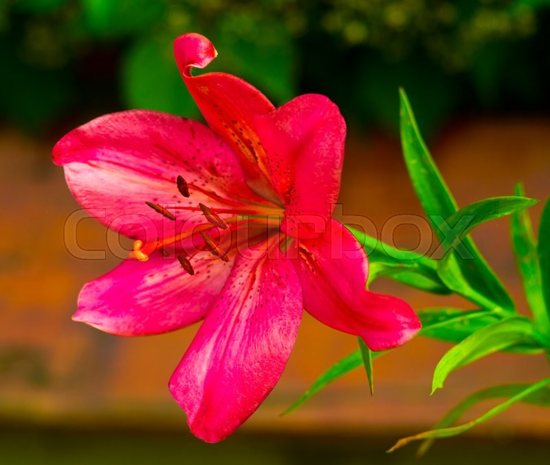 Lilies. Red lily flower. lily flower, stock photo