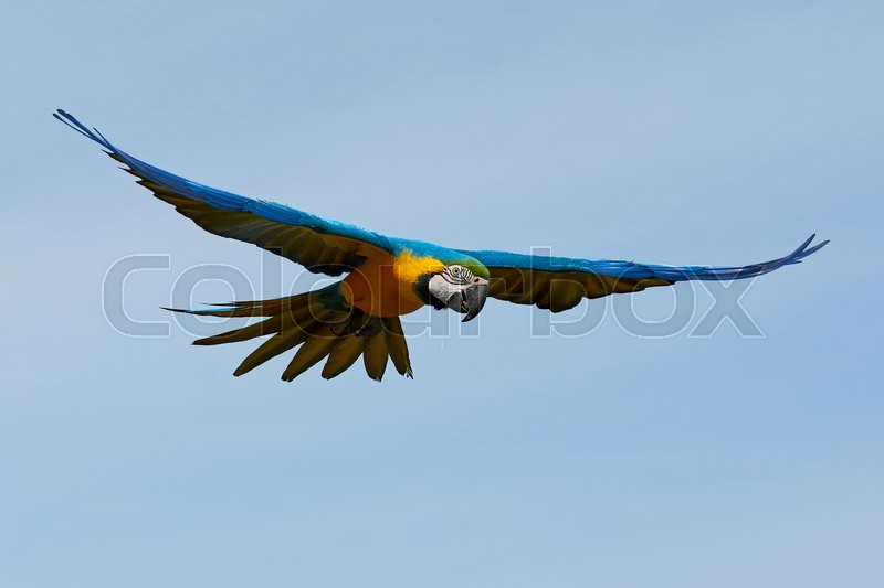 Stock foto af 'Blue and yellow Macaw (Ara ararauna)'