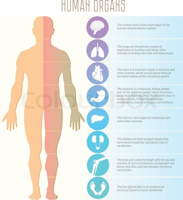 Anatomie, lunge, menschen | Vektorgrafik | Colourbox