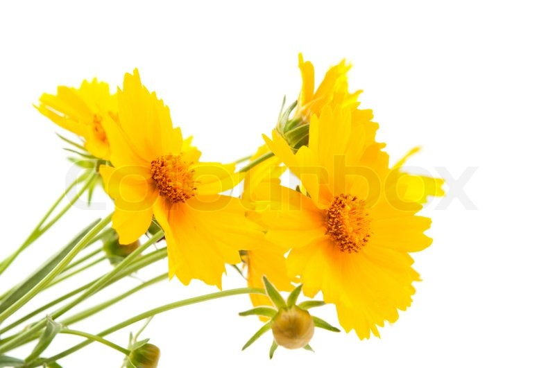http://www.colourbox.com/preview/2029136-736066-meadow-yellow-flower-on-a-white-background.jpg