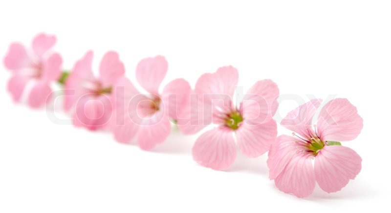 Delicate pink flowers on a white background stock photo colourbox delicate pink flowers on a white background stock photo mightylinksfo Images