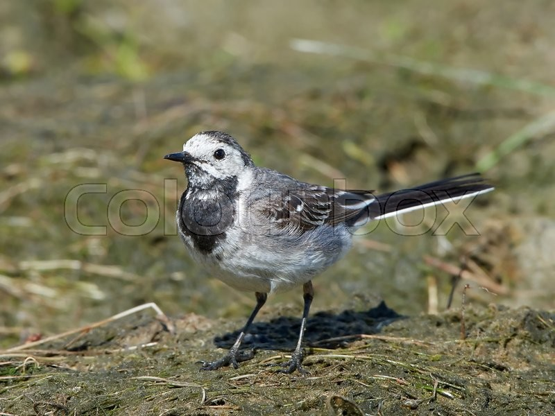 Stock foto af 'White wagtail (Motacilla alba)'