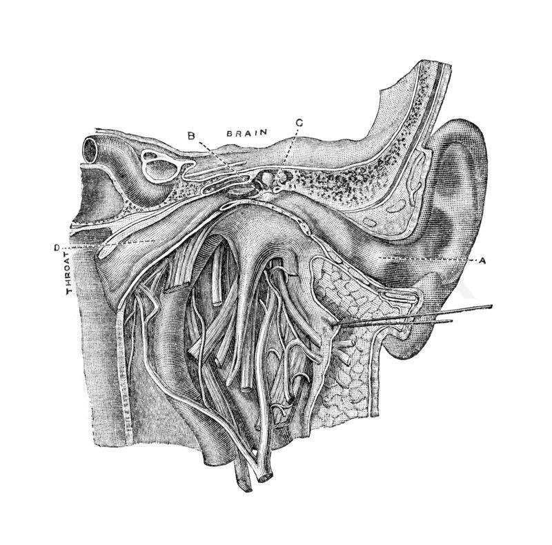 Anatomie des menschlichen Ohres .   Stockfoto   Colourbox