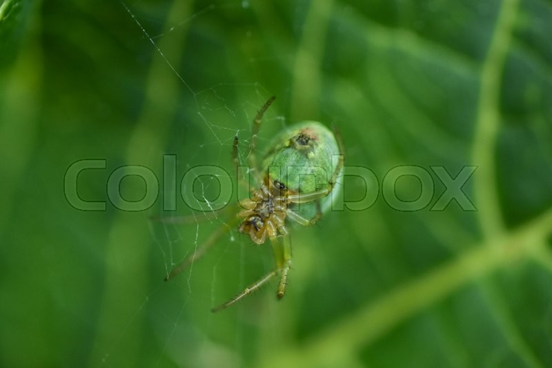 Stock foto af 'Green spider in web on green background'