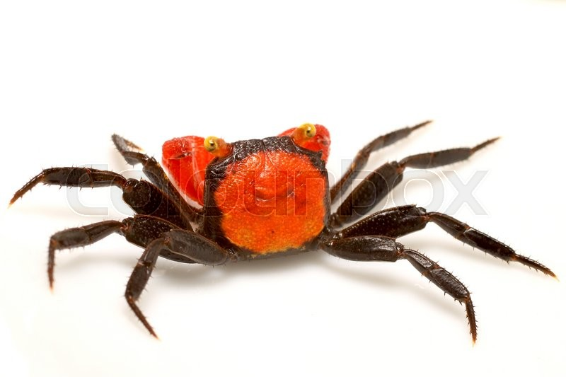 Stock foto af 'small land-living tropics and subtropics crabs which is found on Java, Indonesia'