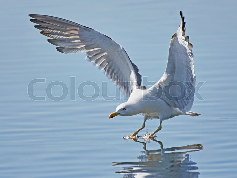 Stock foto af 'Great black-backed gull (Larus marinus)'