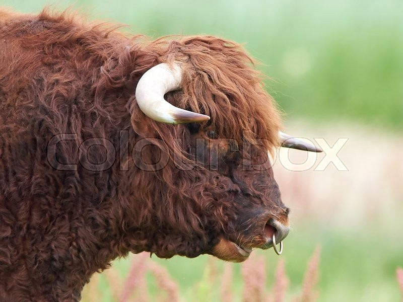 Stock foto af 'Scottish highland bull'