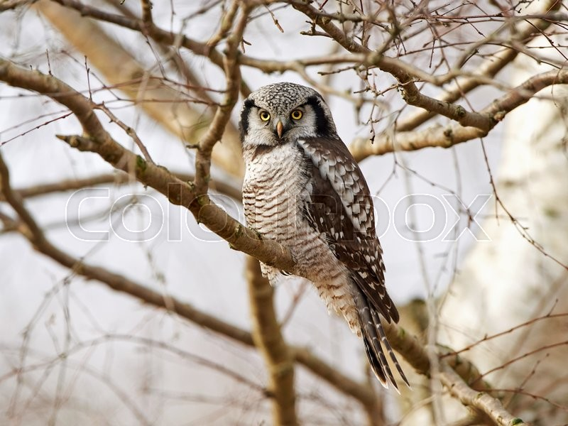 Stock foto af 'Northern Hawk Owl (Surnia ulula)'
