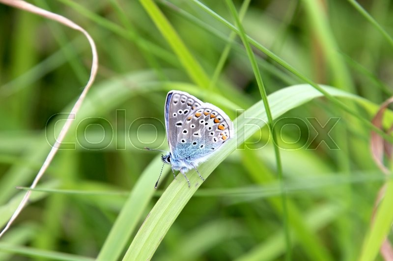Stock foto af 'Colorful butterfly on a Danish meadow'