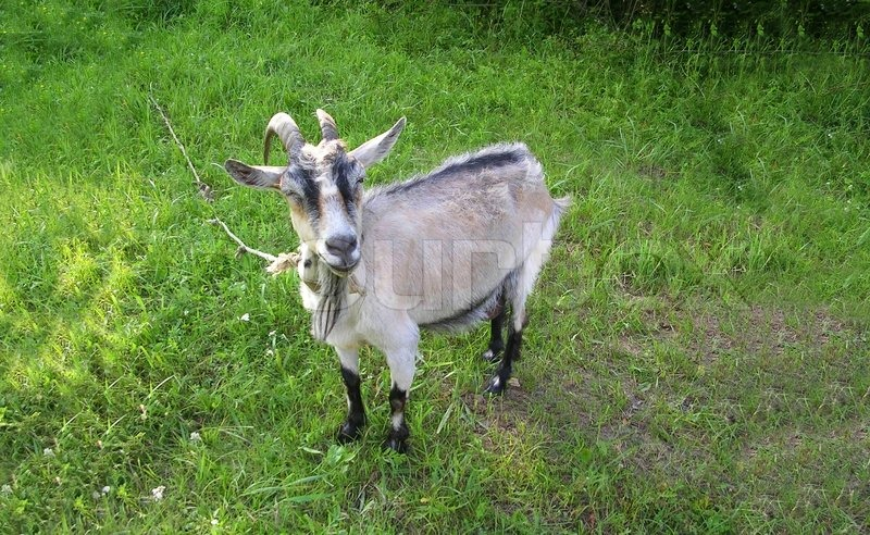 funny looking goat - photo #24