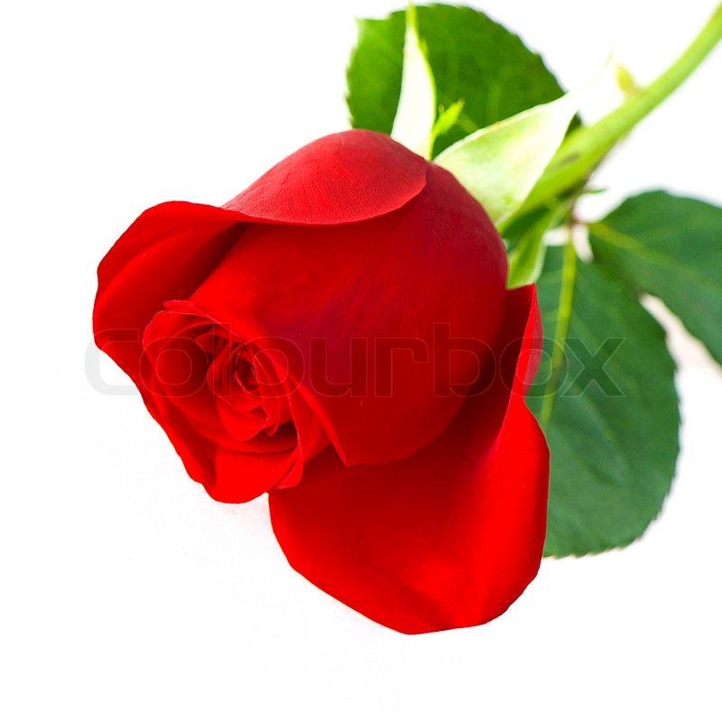 11 Gorgeous Ͽ� Black� Blooms: Enkelt Rød Rose Blomst Isoleret På Hvid Baggrund