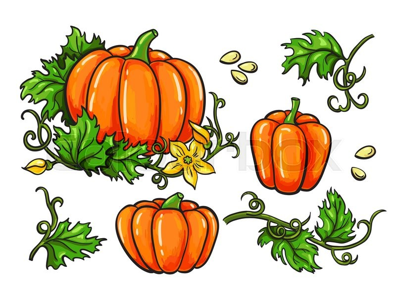 Pumpkin vector drawing set. Isolated hand drawn vegetable ...