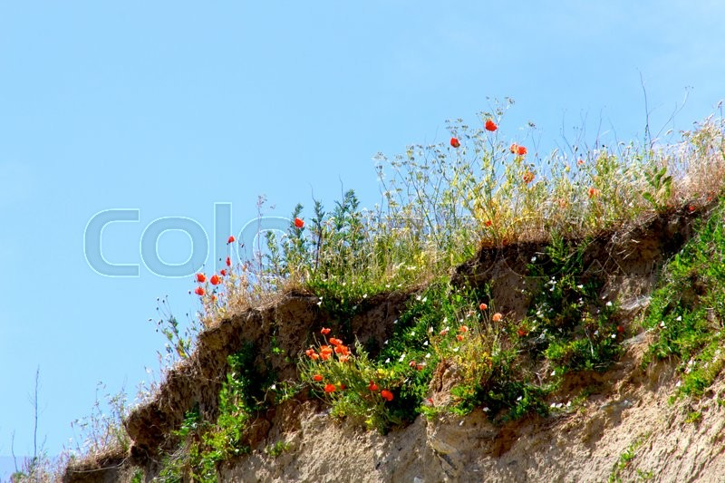 Poppies on the hill side close to a beach, stock photo