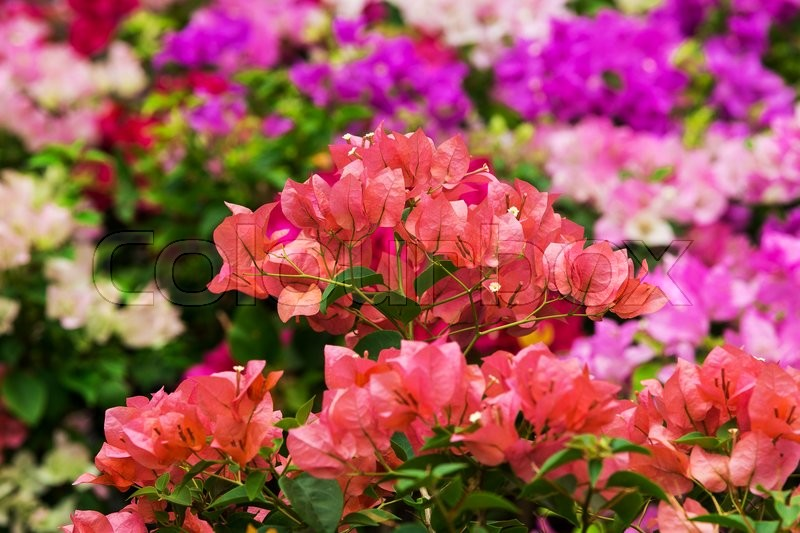 Stock image of 'Bougainvillea paper flower in colorful nature'